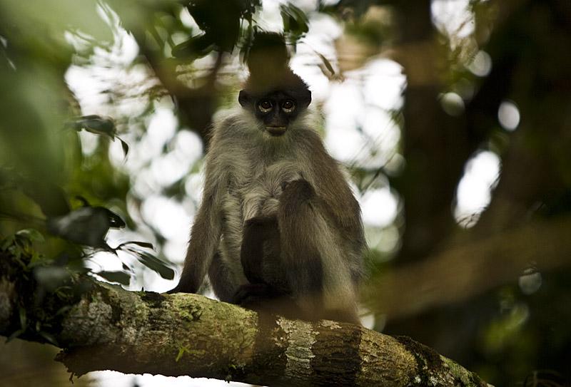 Frasers_hill_hagerman_monkey